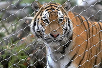 A tiger is staring out through the hole of ferrule type stainless steel cable zoo mesh